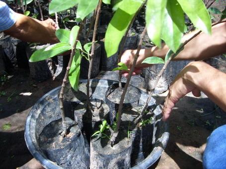 """มะเม่า """"ภูพานเพชร"""" ผลไม้สวนป่าเศรษฐกิจใหม่ ปลูกง่าย การดูแลน้อย ปลูก 2-3 ปี ให้ผลผลิต ผลตอบแทนสูง ผลมีกรดอะมิโนและวิตามิน ใช้เป็นยาระบายและบำรุงสายตา ใบแก้ฟกช้ำ เปลือกทำลูกประคบ มีสารต้นอนุมูลอิสระ ป้องกันโรคมะเร็ง ป้องกันโรค HIV"""